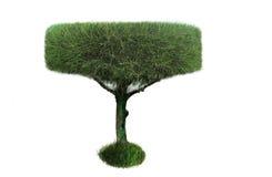 Plantas ornamentales del árbol de pino Fotografía de archivo
