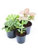 Plantas ornamentales en el fondo blanco fotografía de archivo libre de regalías