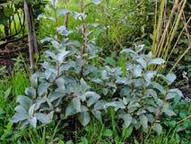Plantas ornamentales hermosas en el jardín del verano silverberry americano o Lobo-sauce del arbusto joven Fotografía de archivo libre de regalías