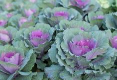 Plantas ornamentales púrpuras de la col imágenes de archivo libres de regalías