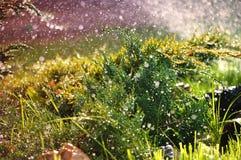 Plantas ornamentales verdes en el jard?n debajo de las gotas de agua del verano imagen de archivo
