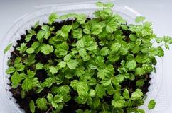 Plantas pequenas da morango fotos de stock