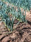 Plantas pequenas do alho-porro do fim Fotografia de Stock