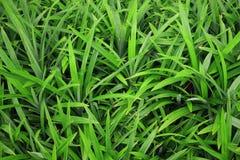 Plantas pequenas do verde da folha de Pandan Foto de Stock