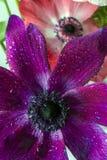 Plantas perennes herbáceas del cosmos Fotos de archivo libres de regalías