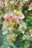 Plantas persas com folhas roxas do protetor no jardim tropical Fotografia de Stock