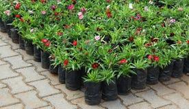 Plantas Potted da flor foto de stock royalty free