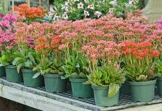 Plantas Potted no berçário Foto de Stock