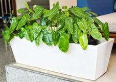 Plantas potted verdes imagens de stock royalty free