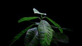 Plantas que crecen el timelapse aislado del sprigtime Semillas del brote de Germitating Concepto de la evolución, nuevo ciclo de  almacen de metraje de vídeo