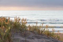 Plantas que crecen en la duna de arena Foto de archivo libre de regalías