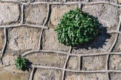 Plantas que crescem em uma parede de pedra Foto de Stock Royalty Free