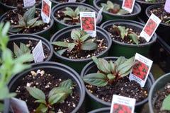 plantas que crescem em uns potenciômetros Foto de Stock Royalty Free