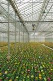 Plantas que crescem na estufa Fotos de Stock Royalty Free