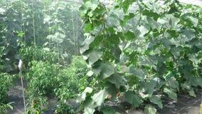 Plantas que son regadas en un invernadero almacen de video