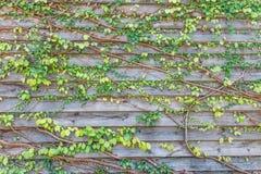 Plantas que suben en de madera viejo Fotos de archivo libres de regalías