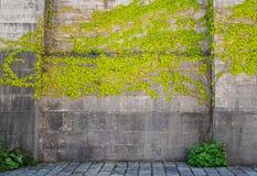 Plantas que suben en fondo al aire libre de la pared vieja Imagenes de archivo