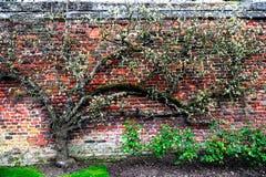 Plantas que suben en la pared de ladrillo Fotos de archivo libres de regalías