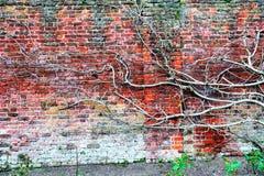 Plantas que suben en la pared de ladrillo Imagen de archivo libre de regalías
