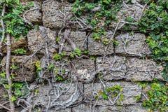 Plantas que suben en la pared de piedra sucia Fondo natural y tex Imagen de archivo libre de regalías