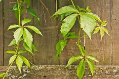 plantas que suben verdes en la cerca de madera vieja Foto de archivo libre de regalías