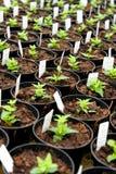 Plantas recentemente em pasta do nemesia em um berçário Fotos de Stock