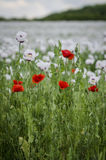 Plantas rojas de la amapola de maíz y de la amapola de opio Foto de archivo