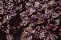 Plantas rojas y púrpuras de la albahaca en un primer Foto de archivo libre de regalías