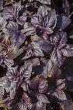 plantas Rojo-púrpuras de la albahaca de la frontera verde en el primer de las hojas Foto de archivo