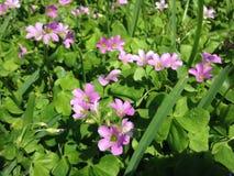 Plantas rosadas del alazán de madera (Oxalis) que florecen en césped en la Florida Fotografía de archivo