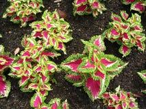 plantas Roxo-com folhas Foto de Stock Royalty Free