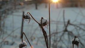 Plantas secas contra um fundo do sol brilhante no inverno vídeo de movimento lento filme