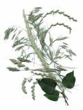 Plantas secas del herbario ejemplo del vector de las flores y de las hojas Fotos de archivo