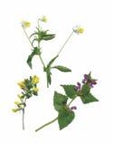 Plantas secas del herbario ejemplo del vector de las flores y de las hojas Imagenes de archivo