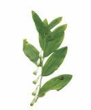 Plantas secas del herbario ejemplo del vector de las flores y de las hojas Imagen de archivo