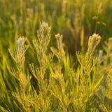 Plantas selvagens no por do sol Imagem de Stock Royalty Free