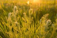 Plantas selvagens no por do sol Imagens de Stock