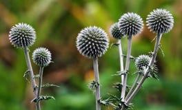 Plantas silvestres florecientes echinops_3 Imagen de archivo libre de regalías