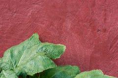 Plantas silvestres verdes con las hojas redondas grandes en fondo pintado oscuro de la pared del rojo de vino Salud que cultiva u Imagen de archivo libre de regalías