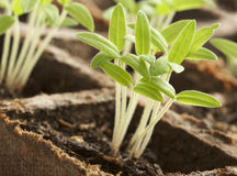 Plantas Sprouting Fotografia de Stock Royalty Free