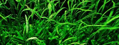 Plantas subaquáticas Imagens de Stock Royalty Free