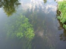 Plantas subaquáticas, algas Fotografia de Stock