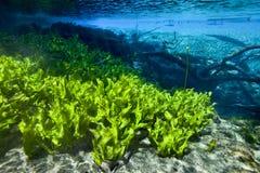 Plantas Submersed cénicos - molas de Cypress Fotos de Stock