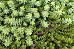 Plantas suculentas Fotografía de archivo libre de regalías