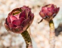 Plantas suculentas Fotos de archivo libres de regalías