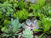 Plantas suculentas Imágenes de archivo libres de regalías