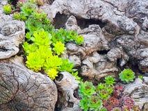 Plantas suculentas foto de archivo