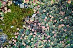Plantas suculentas Fondo natural landscaping imagen de archivo libre de regalías