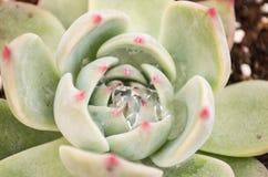 Plantas suculentas: loto de piedra Fotografía de archivo