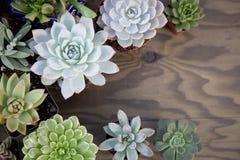 Plantas suculentas para el jardín Fotografía de archivo libre de regalías